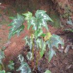 熱帯植物 ベゴニア 道沿いの巨大Begonia Chiang Mai Thailand