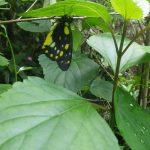 熱帯植物 綺麗な蝶 Chiang Rai Thailand
