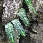 熱帯植物 エラトステマ Elatostema salvinioides N.Chiang Rai TK便