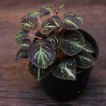 熱帯植物 ソネリラ Sonerila sp.Thong pha phum TK便