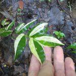 熱帯植物 笹 Sasa sp.斑入り Chiang Rai