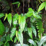 熱帯植物 ベゴニア Begonia sp.Chiang Mai