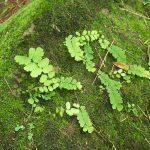熱帯植物 アジアンタム Adiantum sp.Chiang Mai
