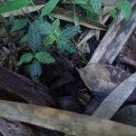 熱帯植物 謎草 Unknown Chiang Rai TK便