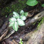 熱帯植物 ペリオニア Pellionia sp.Phayao TK便