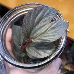 熱帯植物 ベゴニア Begonia sp.Tawau TK便