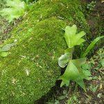 熱帯植物 ビカクシダ Platycerium wallichii Chiang Mai