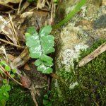 熱帯植物 アジアンタム Adiantum sp.Lampang
