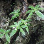 熱帯植物 オフィオリザ Ophiorrhiza sp.N.Chiang Rai