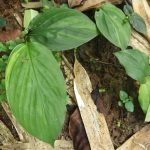 熱帯植物 ショウガ科の一種 斑入り株 Chiang Mai Thailand