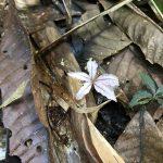 熱帯植物 真っ白コンニャク Amorphophallus sp.Chiang Rai TK便