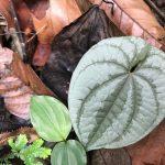 熱帯植物 ディオスコレア Dioscorea sp. Chiang Mai TK便
