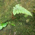 熱帯植物 ダバリア Davallia sp.Phayao TK便