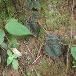 熱帯植物 ベゴニア Begonia sp.Chiang Rai TK便