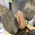 熱帯植物 ホマロメナ Homalomena sp.Kepulauan Riau