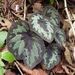 熱帯植物 ベゴニア Begonia sp.Chiang Mai TK便