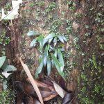 熱帯植物 タキミシダ Antrophyum sp. N.Chiang Rai TK便