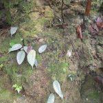 熱帯植物 フィカス Ficus sp.Chiang Mai Thailand