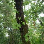 熱帯植物 ドリナリア Drynaria parishii N.Chiang Rai TK便