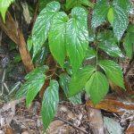 熱帯植物 ベゴニア Begonia sp.Phayao TK便