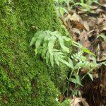 熱帯植物 ゴニオフィレビウム Goniophlebium sp.Chiang Rai