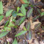 熱帯植物 ペリオニア Pellionia sp.Chiang Rai