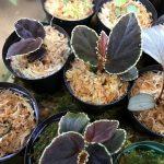 熱帯植物 ベゴニア Begonia darthvaderiana ボルネオ島 サラワク州原産