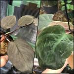 熱帯植物 ホマロメナ Homalomena雑種第一代(F1) 人工授粉 実生