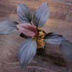 """熱帯植物 ホマロメナ Homalomena sp.""""赤鉄鉱"""" Kepulauan Riau【SGP import】"""