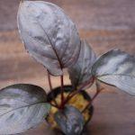 """熱帯植物 ホマロメナ Homalomena sp."""" 紅藤 """" Kepulauan Riau【SGP import】"""