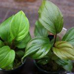 熱帯植物 ホマロメナ Homalomena sp.Sepuluh Koto wf1 育成記録
