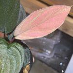 熱帯植物 ホマロメナ Homalomena sp.Sungai Penuh Jambi