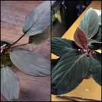 熱帯植物 f1 人工授粉 実生株 授粉 ホマロメナ Homalomena sp. wf1 種