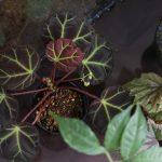 熱帯植物 草部屋 ワイルドベタ 植物 ベゴニア Begonia ホマロメナ Homaloemena