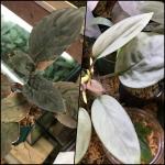 熱帯植物 f1 人工授粉 ホマロメナ 原種Homalomenaの交配記録17