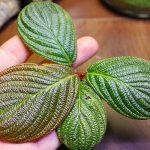 熱帯植物 ホマロメナ Homalomena sp.Riau sumatera 色々