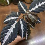 """熱帯植物 リーア Leea amabilis """"Nanga pinoh"""" TB便"""