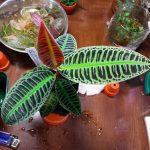 熱帯植物 ラビシア Labisia sp.Riau sumatera LA0815-01