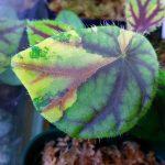 熱帯植物 ベゴニア Begonia quadrialata ssp.Nimbaensis 斑入り