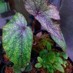 熱帯植物 ベゴニア Begonia variabilis(sp.Khao Luang南)TK便