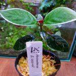 熱帯植物 コスミアンテマム Cosmianthemum bullatum LA0515-02