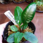 熱帯植物 ダナエア Danaea simplicifolia Colombia2015