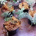 熱帯植物 ヒメナスプレニウム Hymenasplenium sp.Kota Belud TK041116