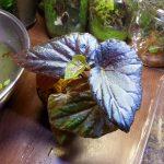 熱帯植物 ベゴニア Begonia phoeniogramma