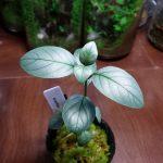 熱帯植物 アカンサセアエ Acanthaceae gen.Laos
