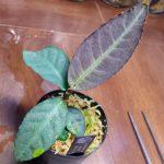 熱帯植物 : アルディシア Ardisia sp.Ranau TK031116