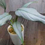 熱帯植物 ホマロメナ Homalomena sp.Pendang 中央カリマンタン TB便