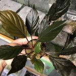 熱帯植物 wf1 f1 実生 人工授粉 ホマロメナ Homalomena sp. Red Morowali,Sulawesi wf1 育成記録