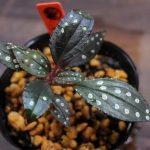 熱帯植物 Sonerila sp.Guangxi YH0518 ソネリラ