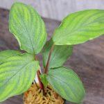 """熱帯植物 ホマロメナ Homalomena sp.""""Sunshine Natal"""" AZ1217-6"""